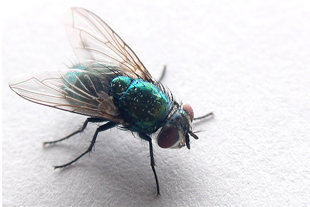 close-up of a bluebottle fly