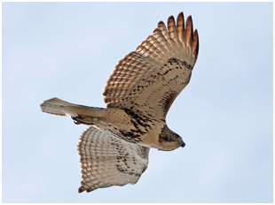 a hawk flying through the sky, viewed form the underside