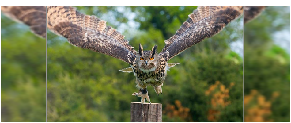 an owl paused, mid-launch